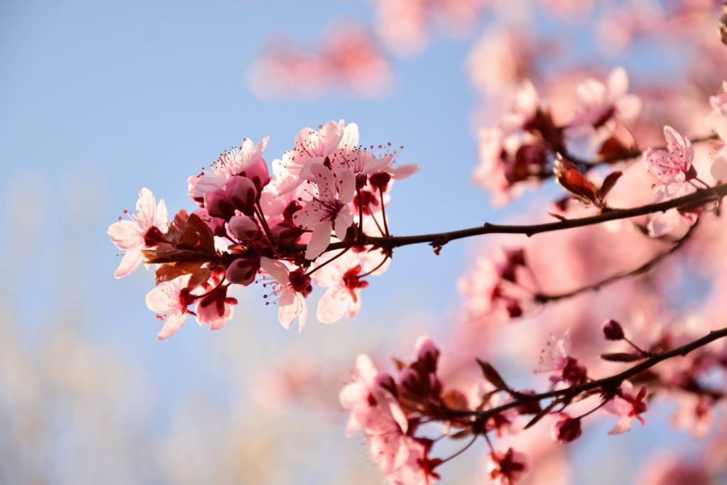 Bienenhof Pausch - Obstblüten