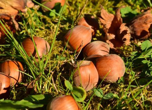 Da liegen sie, die köstlichen Nüsse -  noch in er Schale!
