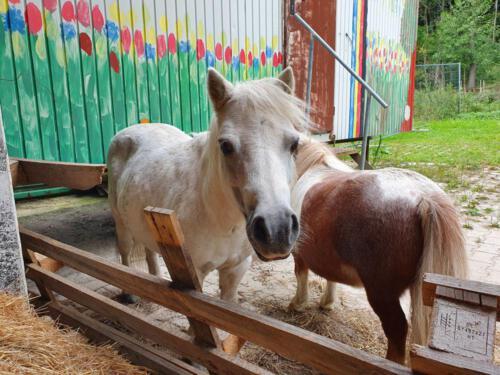 Ponys in verschiedenen Größen warten auf Streichler auf dem Mayerhof