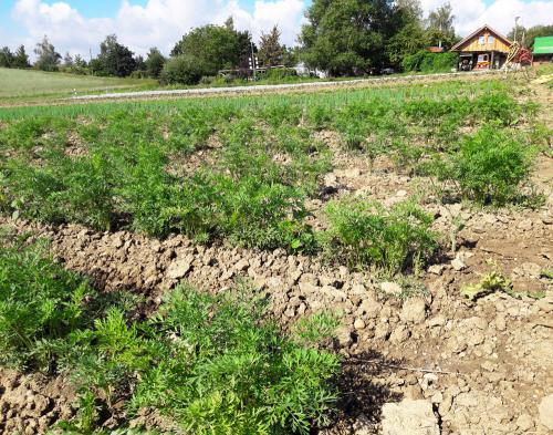 Köstlichkeiten unter der Erde: Karottenfeld in Schönegge